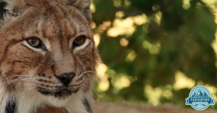 balkan lynx - wild animals montenegro bosnia