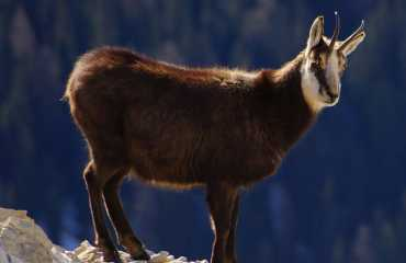 chamois hunting bosnia and montenegro