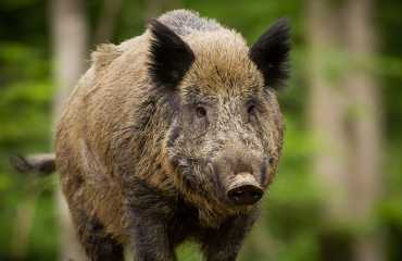 wild boar hunting bosnia and montenegro